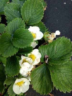 Strawberry 🍓 bushes from my Garden for Sale in Falls Church, VA
