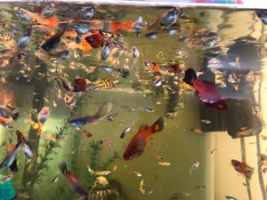 Guppies plattys fish for Sale in Desert Hot Springs, CA