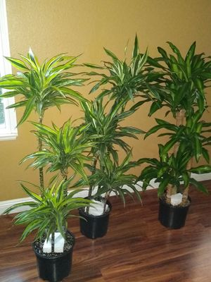Plantas Dracaena Reales , cualquier planta a $40 ..Dracaenas REAL INDOOR PLANTS , $40 dls for Sale in Fontana, CA