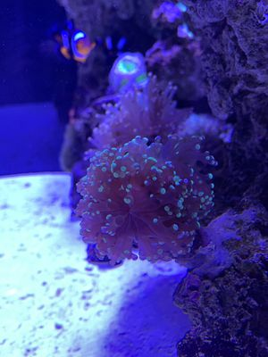 Bicolor Frogspawn 3+ Heads for Sale in San Diego, CA