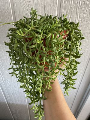 """String of Bananas Succulent 6"""" Pot for Sale in Lakewood, CA"""