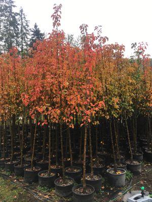 Flowering Pear & Laceleaf Maple for Sale in Estacada, OR