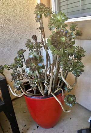 Big pots succulent plants $30 each for Sale in Wildomar, CA