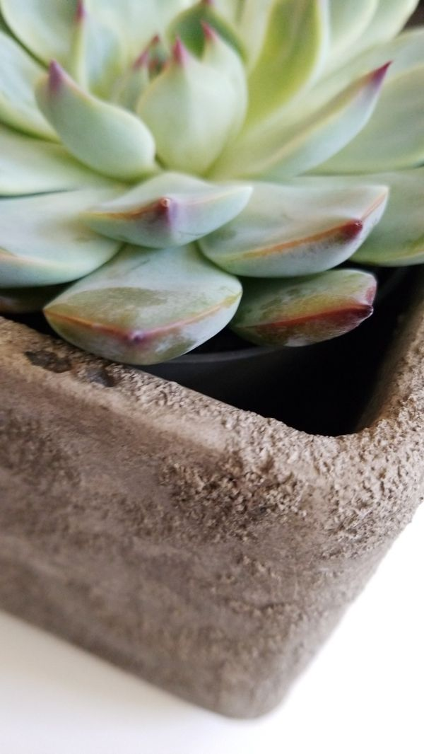 Large Succulant in cement container
