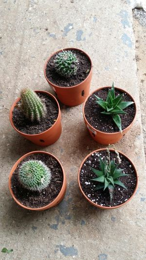 Succulents Cactus in a 6 by 5 inches Terra Cotta pot $7.00 each or 2 for $10 00. Cactus en maceta de barro a $7.00 for Sale in Fort Worth, TX