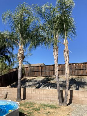 Free Palm Trees for Sale in Lake Elsinore, CA