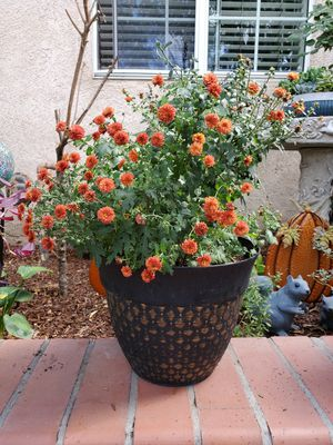 Potted Garden Mum Plant for Sale in Westminster, CA