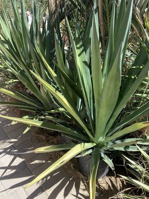 Agaves for Sale in Fontana, CA