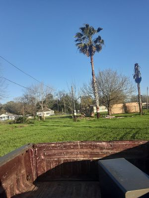2 palm trees about 20-25ft tall for Sale in Kolin, LA