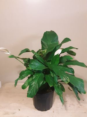 Peace lily plants 3 gallons pot 2ft 4 inches tall for Sale in Chula Vista, CA