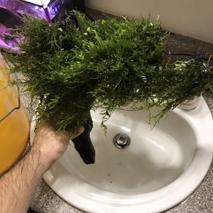 Xmas Moss for Sale in Salem, OR