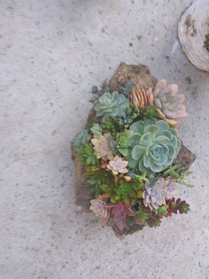 Live succulents planted in volcanic rock for Sale in Woodland, CA