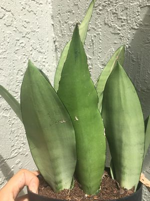 Moonshine Snake Plants for Sale in Kissimmee, FL