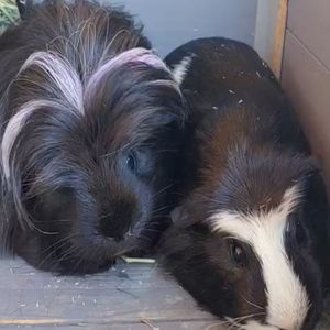 FREE Guinea Pig and 2 Bags Of Hay for Sale in Fountain Valley, CA