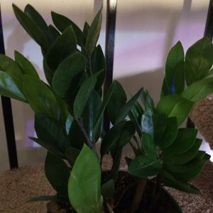 Full And Lush ZZ Plant In 6 Inch Nursery Pot for Sale in Kent, WA