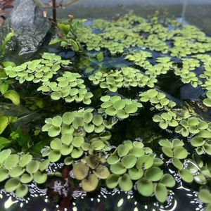 Asian Watermoss Floating Fern - Aquatic Plant for Sale in Long Beach, CA