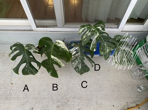 variegated monstera cuttings for Sale in Suisun City, CA