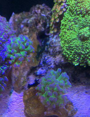 Hammer Purple Tips Coral for Sale in Yorba Linda, CA