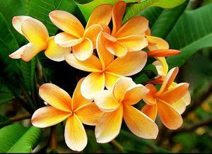 Plumeria Hybrid Orange Cream for Sale in Brandon, FL