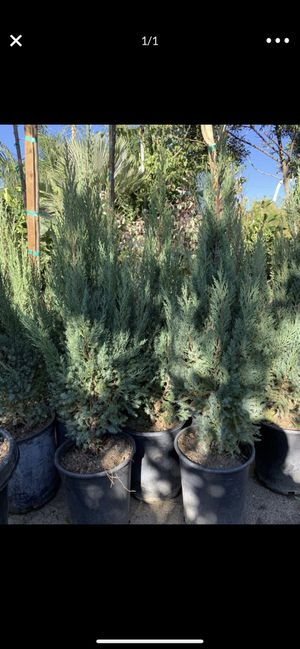Blue point juniper 5gal for Sale in Highland, CA