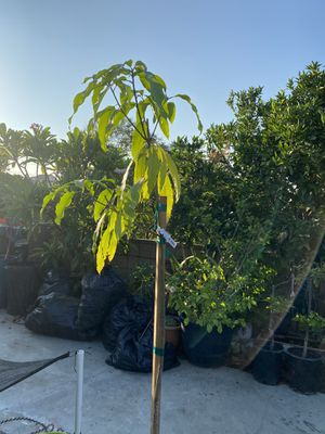 ATAULFO MANGO OVER 6 ft for Sale in Commerce, CA