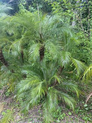 Pygmy date palms 8' to 10' overall b&b for Sale in Merritt Island, FL