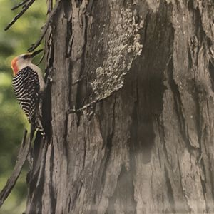"""14"""" x 11"""" Photo of a red bellied woodpecker in Winfield Illinois for Sale in Wheaton, IL"""