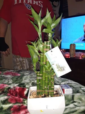 Lucky Bamboo plant good healthy for Sale in Murfreesboro, TN