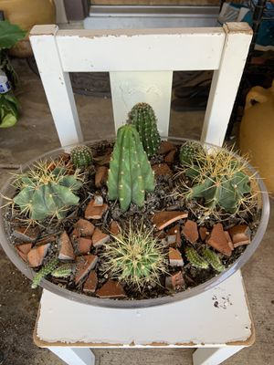 Succulent plants arrangement cactuses city small San Pedro Cactus,golden barrel cactus and peanuts cactuses in an oval planter for Sale in Hanford, CA