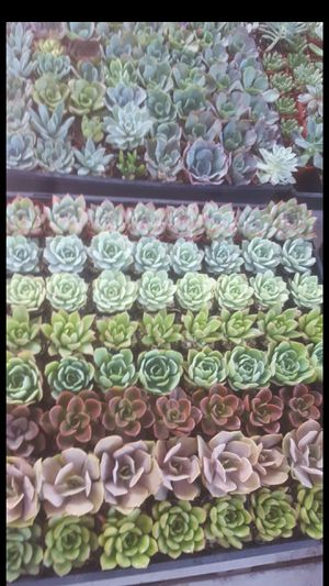 "Party favors succulent plants 2""pot for Sale in Corona, CA"