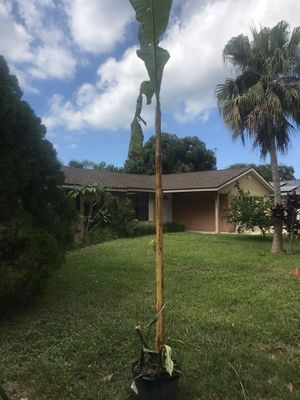 Banana plant for Sale in Palm Harbor, FL