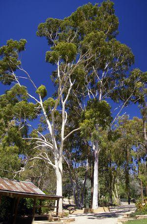 Lemon Eucalyptus/Gum Trees 7 Gallon for Sale in Myakka City, FL