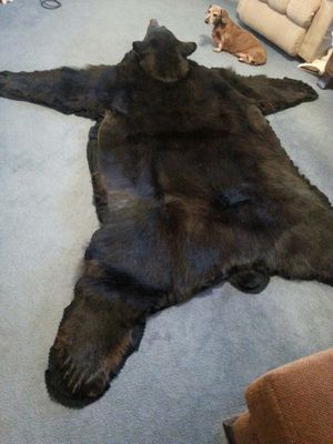 Beautiful Pope&Young 9yr old black bear. for Sale in Vernon, AZ