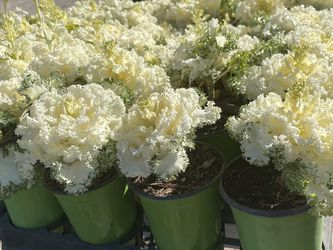 White Cabbage Flowers for Sale in Fresno,  CA