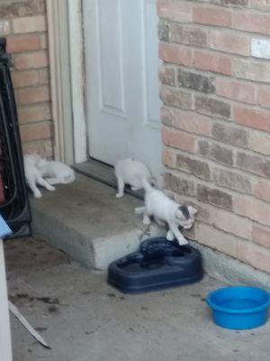 Kitten for Sale in Red Oak, TX