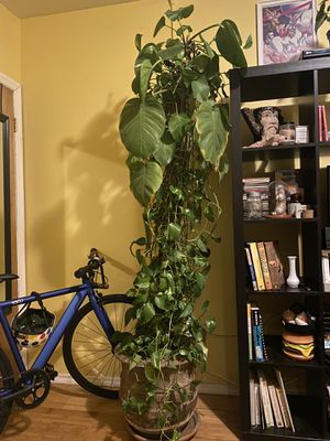 6ft pothos for Sale in Brooklyn, NY