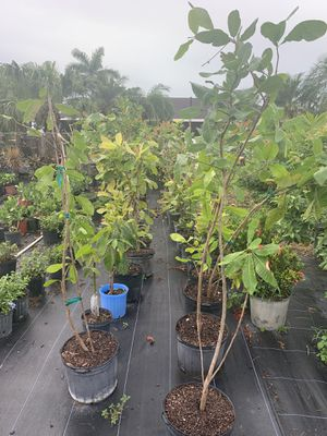 Cashew Tree ( Marañon ) Red 7g for Sale in Homestead, FL