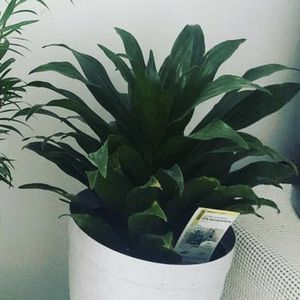 Darceana Plant for Sale in Queens, NY