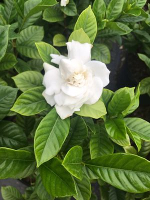 Gardenia for Sale in Miami, FL
