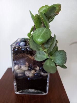 Plant Live succulent for Sale in Plainfield, IL