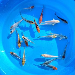 Standard Fin and Butterfly Fin Koi fish 4-5 inch for Sale in San Bruno, CA