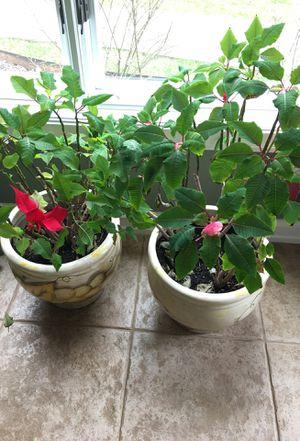 "2 poinsettia plants in 15"" ceramic pots. for Sale in Bloomfield Hills, MI"