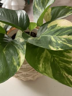 Golden Pothos w/ Bamboo Pot for Sale in Los Angeles,  CA