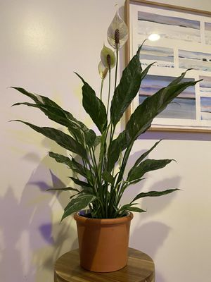 Variegated peace lily for Sale in San Diego, CA