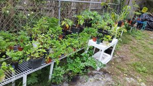 "Plants for Pots (8"" or larger) for Sale in Belleair, FL"