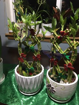Breaded lucky Bamboo 14 inch ceramic pot live plant! for Sale in Tacoma, WA
