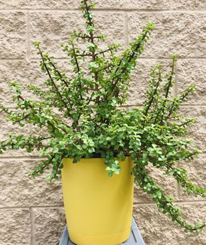 Indoor plant for Sale in Greenville, SC