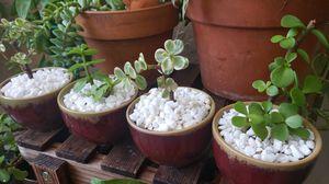 Jade plant set for Sale in Boynton Beach, FL
