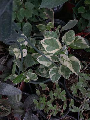 Pothos plant for Sale in Modesto, CA