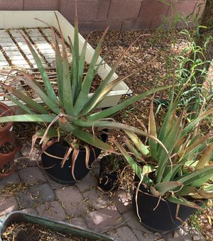 3 Large aloe Vera plants for Sale in Las Vegas, NV